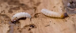 Anobium Punctatum larve | Dezinsectie carii de lemn