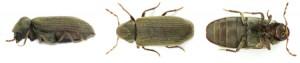 anobium punctatum adult | Dezinsectie carii de lemn